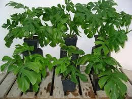 16 mini split leaf philodendron philodendron u0027ginny u0027 house