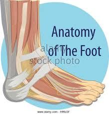 Anatomy Of A Foot Human Foot Anatomy Stock Photos U0026 Human Foot Anatomy Stock Images
