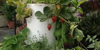 how to grow strawberries with tower garden