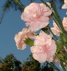 carnations flowers growing carnations how to grow carnations in the garden