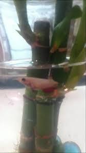 Beta Fish In Vase Betta Vase With Bamboo Youtube