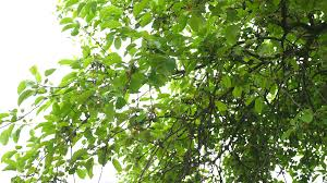 up view of the oak tree leaves on a wood waves on the