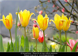 pretty yellow tulips with natural background photo secret garden