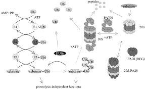 ubiquitin proteasome system and proteasome inhibition new