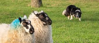australian shepherd herding sheep sheepdog terminology and training commands u2013 the herding sheepdog