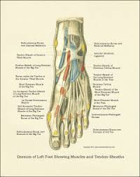 Foot Ligament Anatomy Foot And Ankle Anatomy Chart Downloads