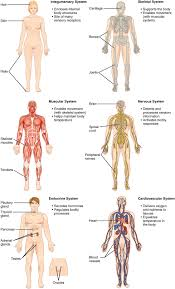 Anatomy And Physiology Chapter 11 Test Structural Organization Of The Human Body Anatomy And Physiology I