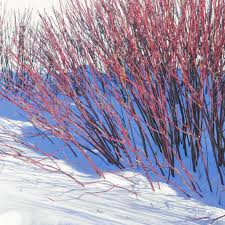 when to prune native plants pruning is key to maintaining red twig dogwoods u0027 color chicago