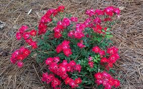 drift roses drift 1 gallon shrub groundcover roses