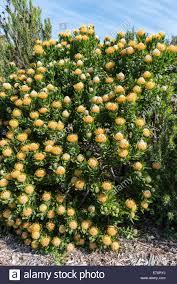 Pin Cushion Tree Tree Pincushion Or Pincushion Protea Leucospermum