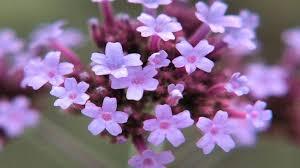 verbena flower gardening tips how to grow verbena