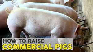 how to raise pigs atlas feeds commercial farms youtube