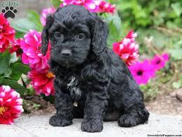 48 cockapoo puppy pictures