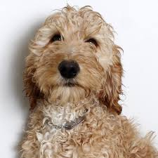 doodle for adoption indiana best 25 doodle ideas on doodle breeds when