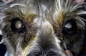 Blindness After Cataract Surgery Cataracts Blindness And Diabetic Dogs Animal Eye Care