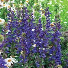 cardinal flower blue cardinal flower hill nurseries