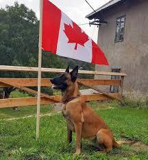 belgian shepherd standard home cwbsa canadian working belgian shepherd association
