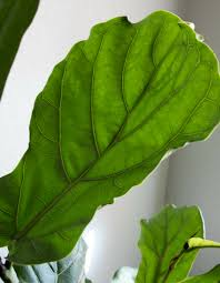 Fiddle Leaf Fig Tree Care by Caring For A Fiddle Leaf Fig Tree