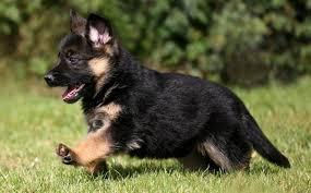 belgian sheepdog litters german shepherd dog all big dog breeds
