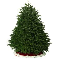 shop 7 8 ft fresh nordmann fir tree at lowes
