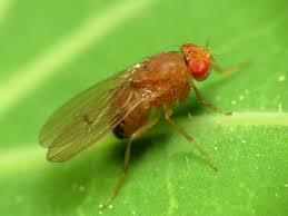 petites mouches cuisine contrôler la mouche des fruits dans le compost jardinier paresseux