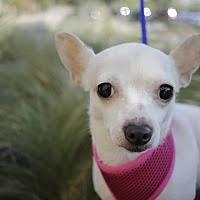 affenpinscher and chihuahua san antonio tx pet adoption texas chihuahua rescue san