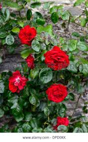 209 best climbing roses images on pinterest climbing roses
