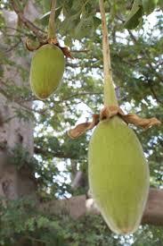 cuisiner le fruit de l arbre à recettes de baobab baobab