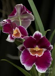 Orchid Flower Pic - 571 best orchids images on pinterest flowers orchid flowers and