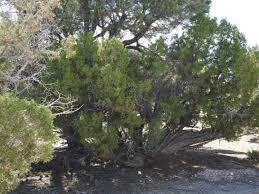 utah native plants pinyon juniper woodland removal blm sagebrush ecosystem management