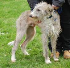 feeding a bedlington terrier my beautiful beddy whippet u003c3 jack u003c3 bedlington terrier x