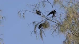 ultra hd 4k uhd black bird sitting flying flight