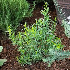Zone Gardening - tarragon