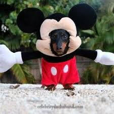 Halloween Costumes Miniature Dachshunds 2358 Doxie Love Images Animals Dachshunds