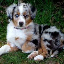 t r australian shepherds miniature australian shepherd dog funny puppy u0026 dog pictures