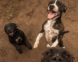 afghan hound breeders qld staffordshire bull terrier breeders in qld pawbase