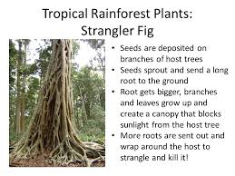 Adaptations Of Tropical Rainforest Plants - plants week 4 directions 1 prepare your desk for science leave