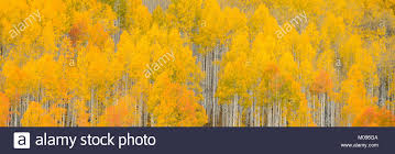 hues of orange aspen trees turn bright hues of orange and yellow in a colorado