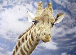 beautiful creatures grayscale coloring book giraffe