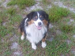 buy a australian shepherd peace creek mini aussies miniature australian shepherds in florida