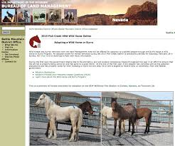 mustang adoption gorgeous blm weanling and yearling horses available for