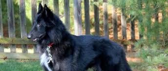 belgian sheepdog groenendael belgian sheepdog rescue trust belgian sheepdog club of america