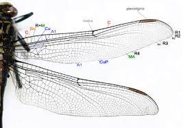 insect wing wikipedia