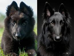 belgian sheepdog names tahoe u0027s before and after aww