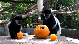 halloween 2011 black and white colobus monkey at port lympne wild