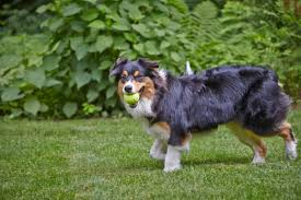 australian shepherd kalamazoo top 15 dog breeds most likely to be escape artists dog tails