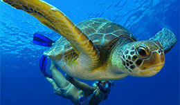 imagenes tortugas verdes las tortugas verdes especie de tortuga marina