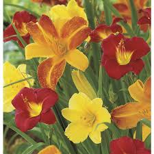 reblooming daylilies shop garden state bulb 6 pack reblooming daylily mixed bulbs
