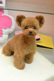 how to cut a shichon s hair poodles smart active and proud poodle teddy bear and pup