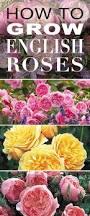 best 25 english flowers ideas on pinterest english gardens